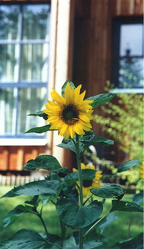 1-sonnenblume